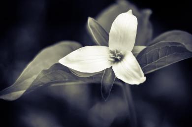 trilium flower