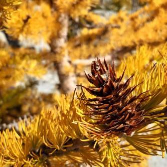 larch cone