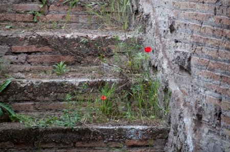 poppies on palatine
