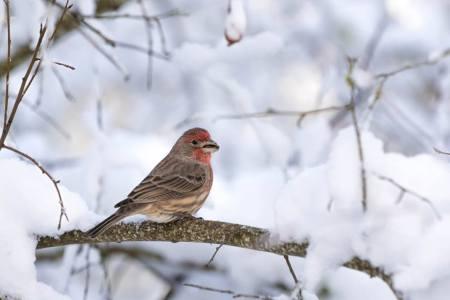male-house-finch
